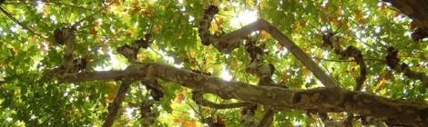 Resposta de l'Ajuntament sobre l'estat de l'arbre del Saltells